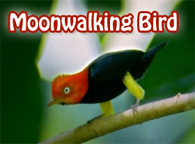 Moonwalking Bird