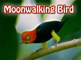 Moonwalking Bird