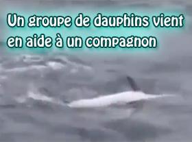 Un groupe de dauphins vient en aide à un compagnon !