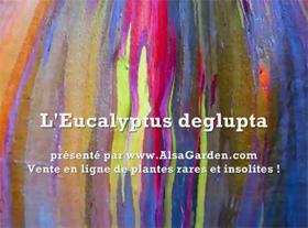 Plantes rares : Eucalyptus deglupta
