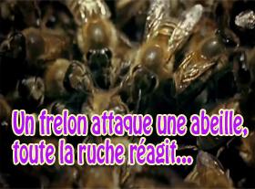 Un frelon attaque une abeille, toute la ruche réagit